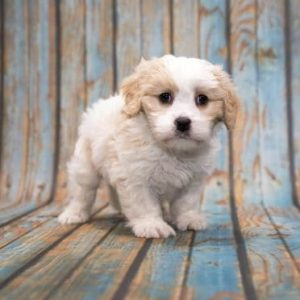 How to Choose a Cavapoo Breeder if You Live in Pennsylvania