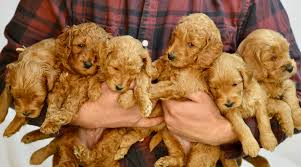 How to Choose a Labradoodle Size