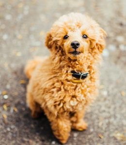 How to Choose a Poodle Breeder if You Live in Florida