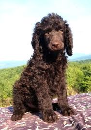 How to Choose a Poodle Breeder in North Carolina