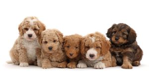 Introduction to Cavapoo and Goldendoodle