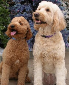 Introduction to Mini Labradoodle vs Mini Goldendoodle
