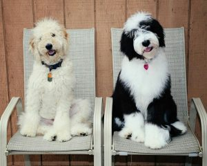 Introduction to the Sheepadoodle vs the Goldendoodle