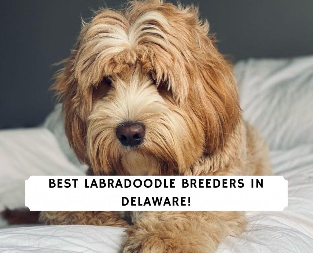 Labradoodle Breeders in Delaware