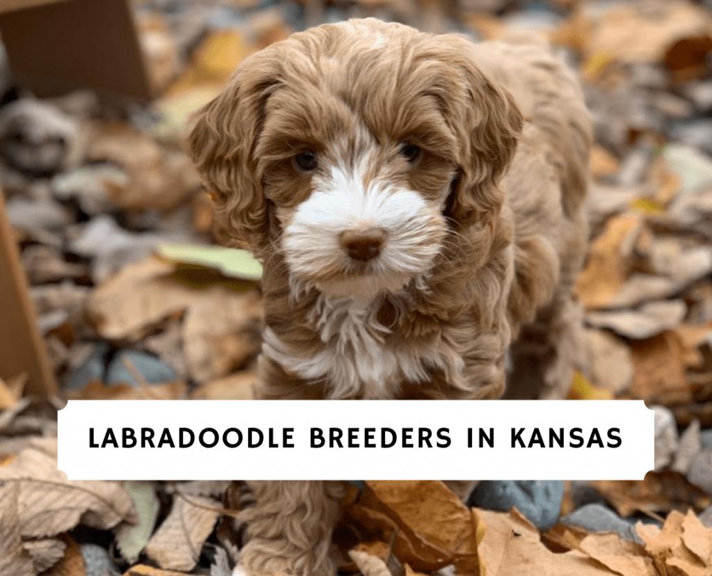 Labradoodle Breeders in Kansas