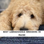 Labradoodle Breeders in Maine