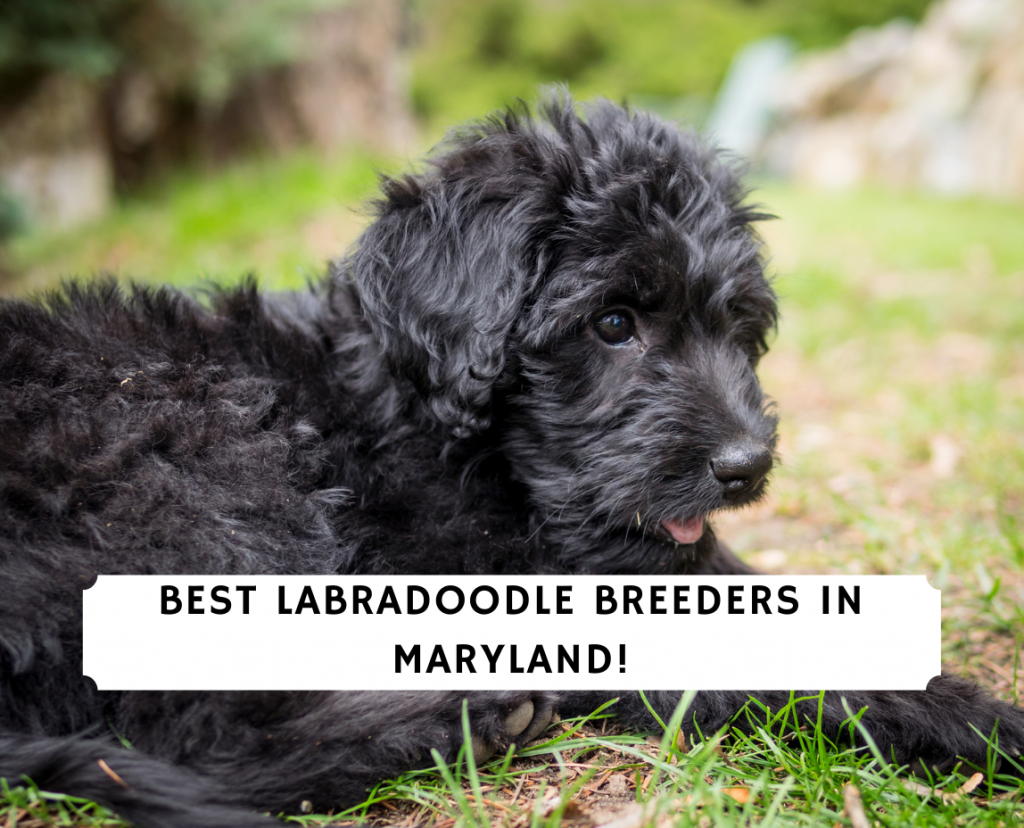 Labradoodle Breeders in Maryland