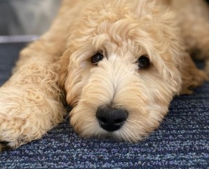 Labradoodle puppies for sale in Maine
