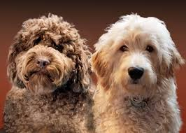 Labradoodle vs Goldendoodle temperament