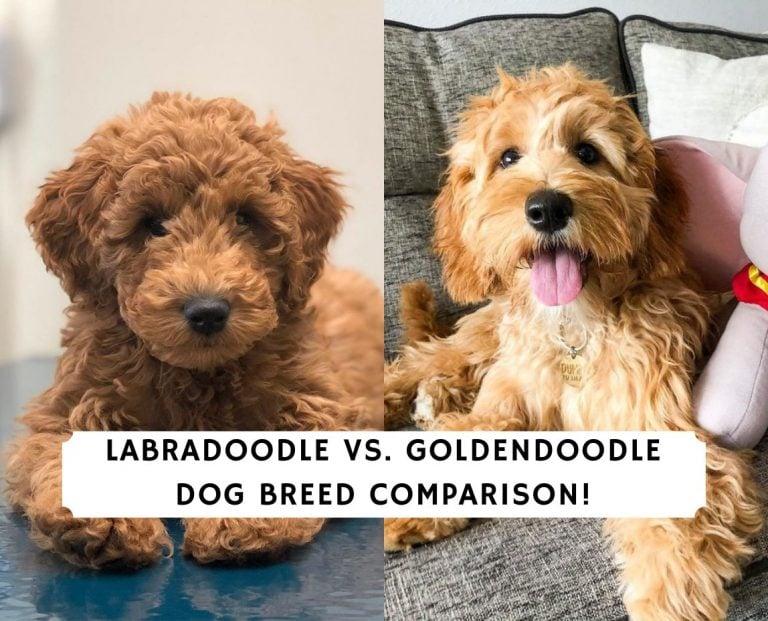 Labradoodle vs. Goldendoodle