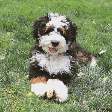 Bernedoodle vs  Aussiedoodle Lifespan: What is their life expectancy?