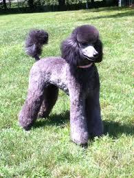 Madela Standard Poodles