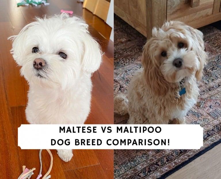Maltese vs Maltipoo