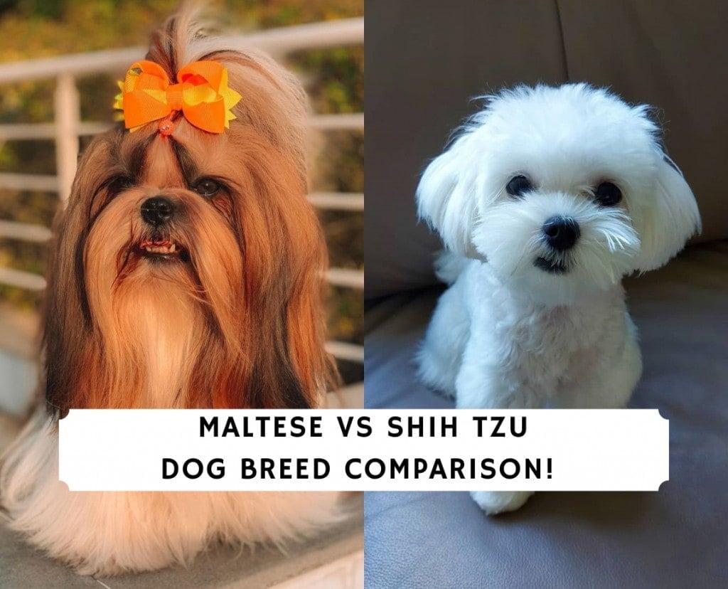 Maltese vs Shih Tzu