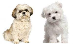 Maltese vs Shih Tzu Temperament: How do they behave?
