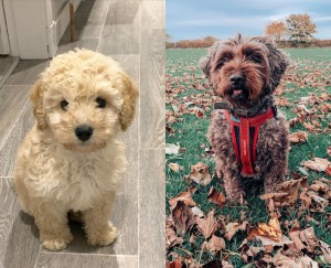 Maltipoo or Cockapoo