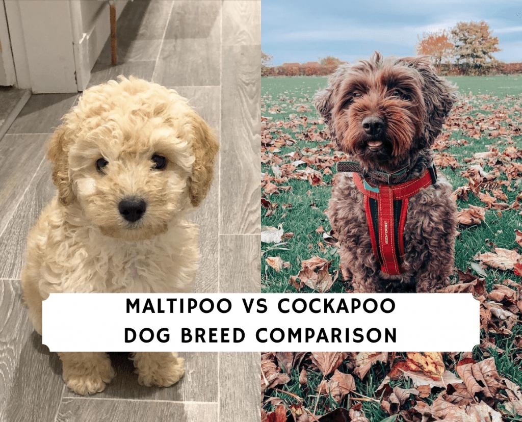 Maltipoo vs Cockapoo