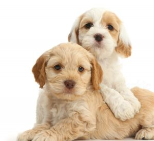 Maltipoo vs Cockapoo Health: Are They Prone to Health Conditions?