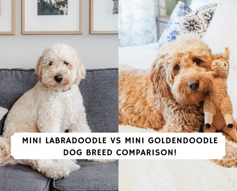 Mini Labradoodle vs Mini Goldendoodle