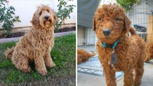 Mini Labradoodle vs Mini GoldendoodleTraining: Can They be Easily Trained?