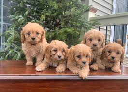 Pequea Valley Puppies