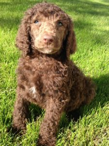 Poodle Puppies for sale in Arizona