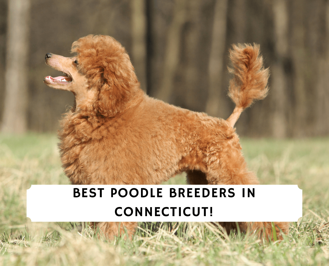 Poodle Breeders in Connecticut