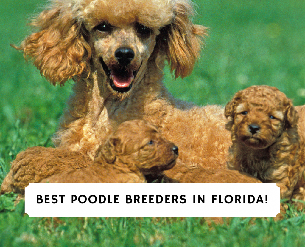 Poodle Breeders in Florida