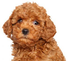 Poodle puppies for sale in Minnesota