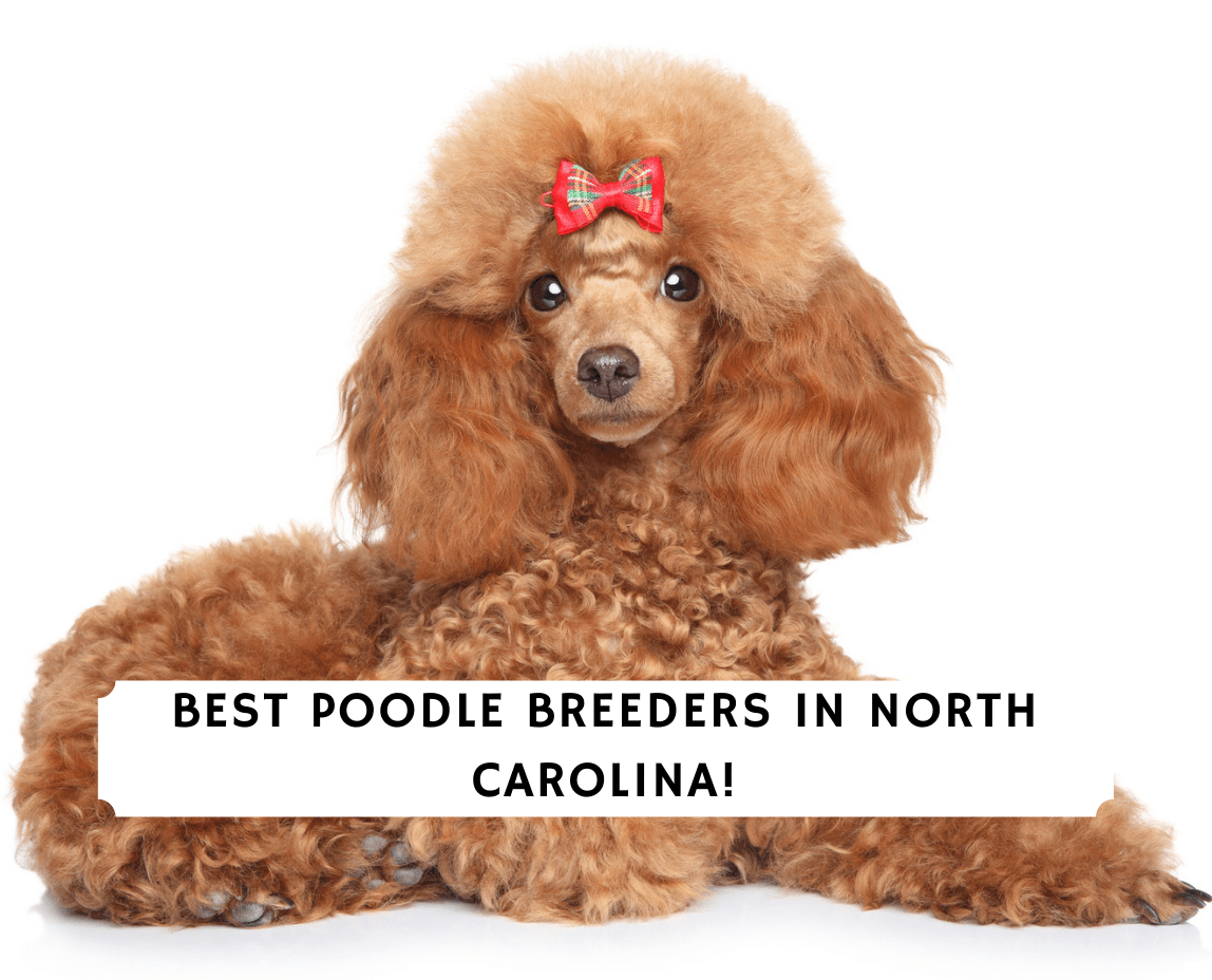Poodle Breeders in North Carolina