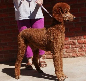 Poodle puppies for sale in Texas