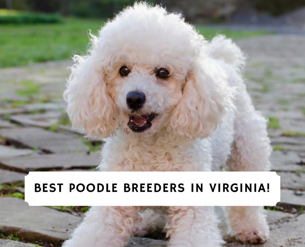 Poodle Breeders in Virginia