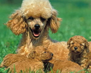 Poodle Puppies for sale in Florida