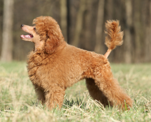 Poodle Puppies in Connecticut