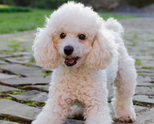 Poodle Puppies in Virginia