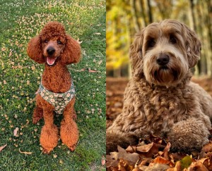 Poodle or Labradoodle