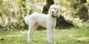 Poodle vs Goldendoodle Appearance: What do They Look Like?