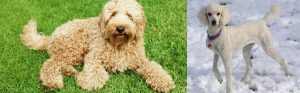 Poodle vs Labradoodle Temperament: How do they behave?