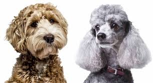 Poodle vs Labradoodle Size: Which is Bigger?