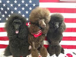 Posay Miniature Poodles