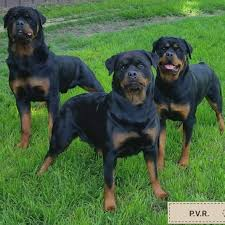 Prairie Valley Rottweilers