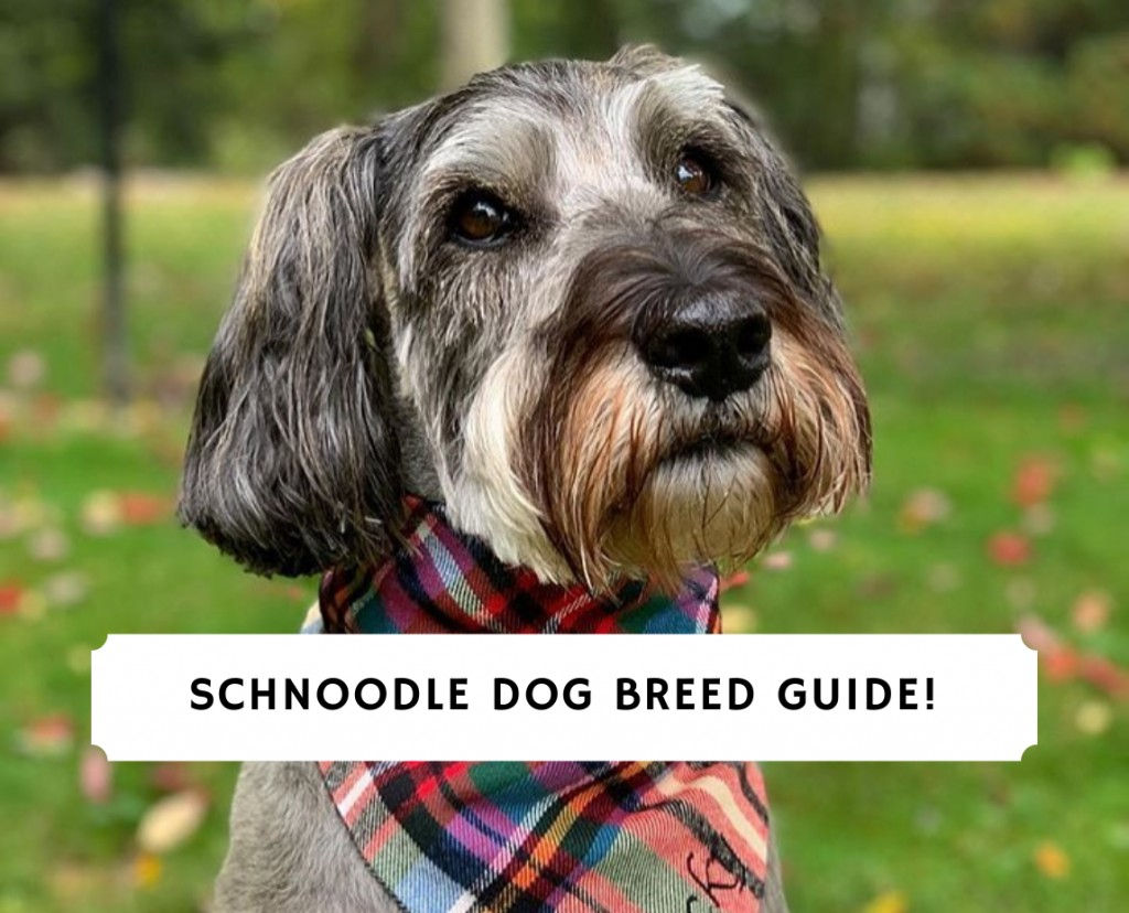 Schnoodle-Dog-Breed-guide