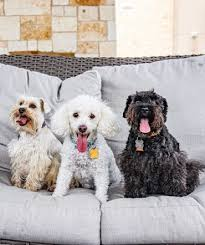 Schnoodles are still a fantastic choice for a lifelong companion!