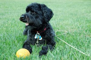 More Information about the Schnoodle