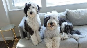 Sheepadoodle Vs. Bernedoodle Costs: Are They Expensive to Look After?