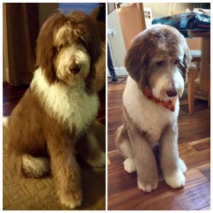 Sheepadoodle Vs. Bernedoodle Grooming: How Much Do They Require?