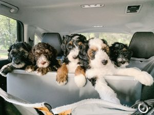 Sheepadoodle Vs. Bernedoodle Health: Are They Prone to health Conditions?