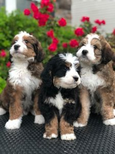 Sheepadoodle Vs. Bernedoodle Temperament: How Do They Behave?