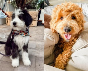 Sheepadoodle or Goldendoodle