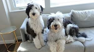 Sheepadoodle vs Goldendoodl